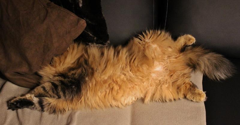 katt uten hode