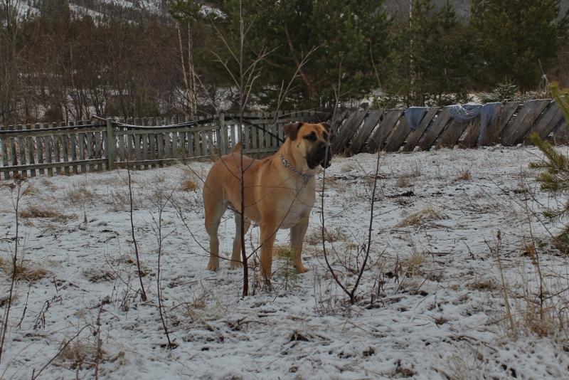 Boerboel snø