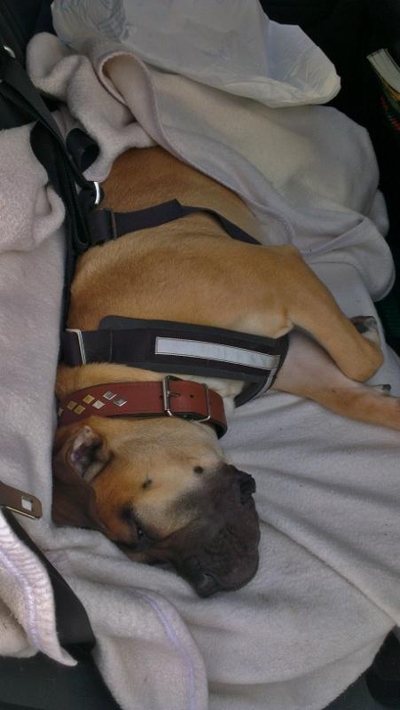 Allsafe sikkerhetssele til hund