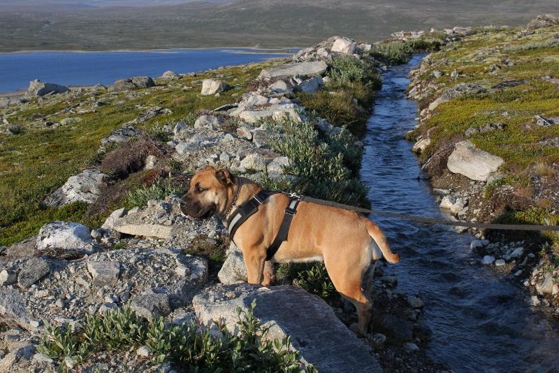 Boerboel på fjelltur