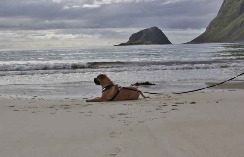 Boerboel ved sjøen