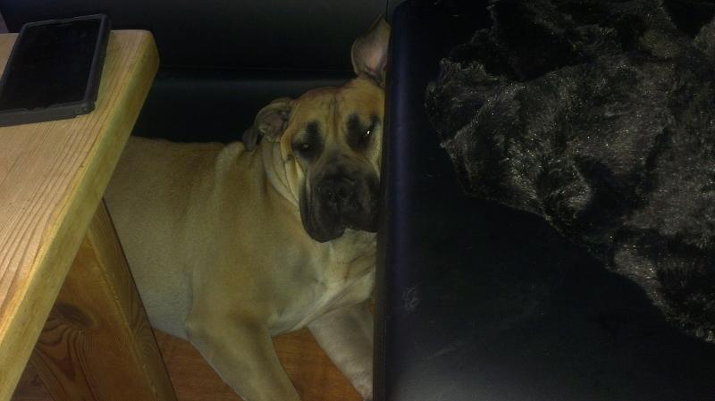 hund og sofa