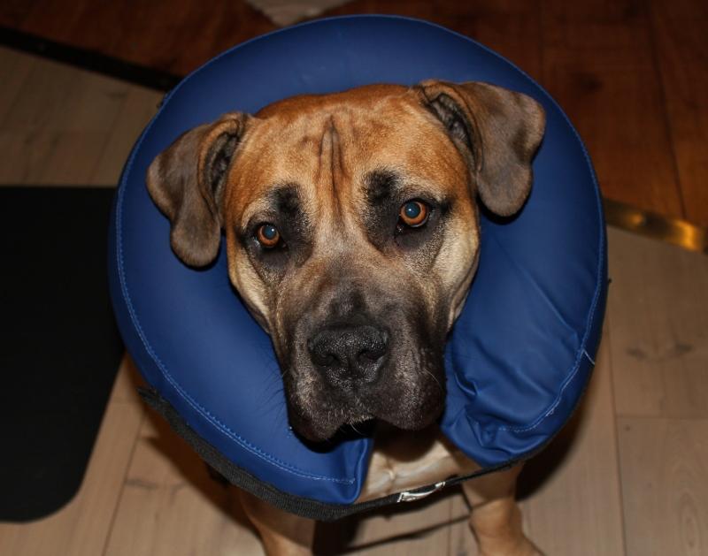 oppblåsbar sårkrage til hund