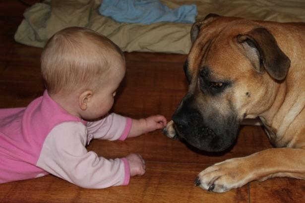boerboel and baby