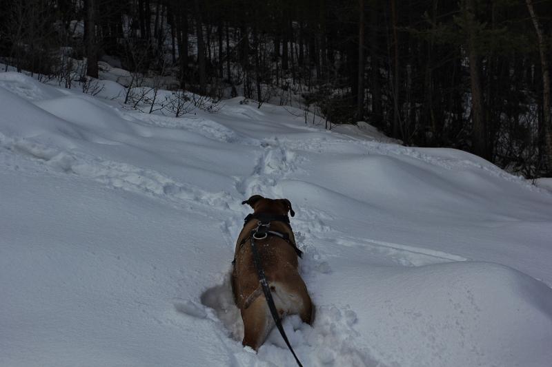 boerboel in the snow