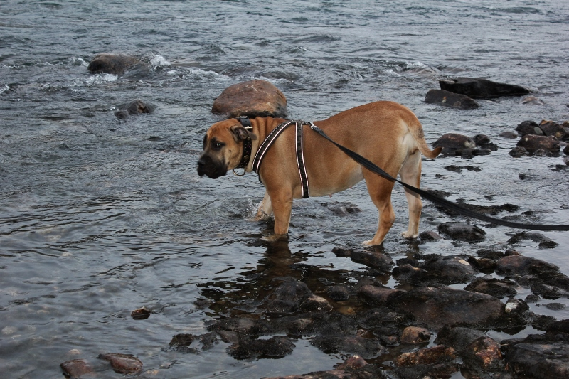 boerboel in the river