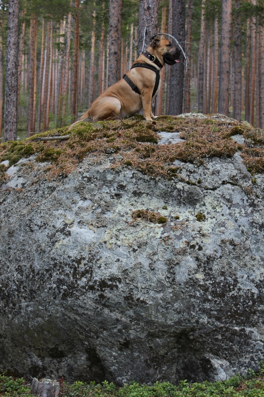 boerboel on a rock