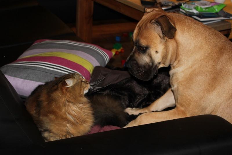 boerboel og katt