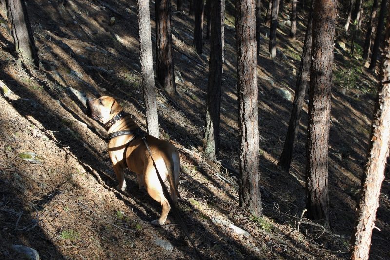 boerboel in the forest