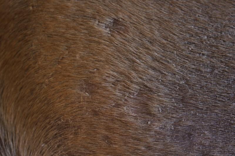 boerboel mister pels