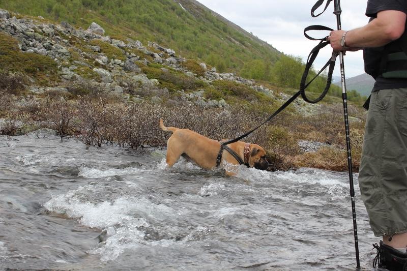 hund går over stri bekk
