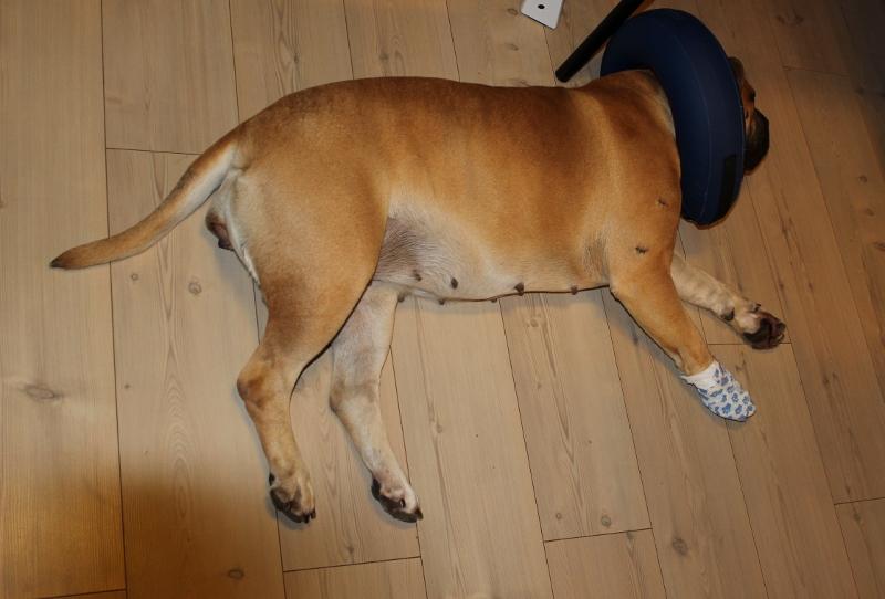 hund (boerboel) med oppblåsbar krage