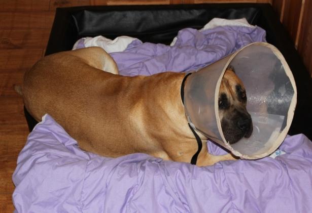 hund (boerboel) med skjerm