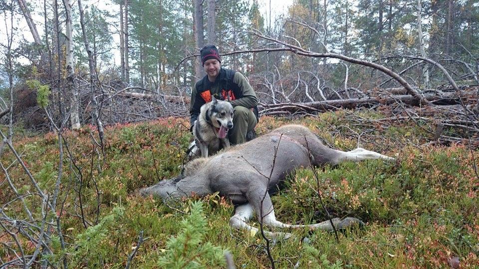 jamthund med elgfall på elgjakt
