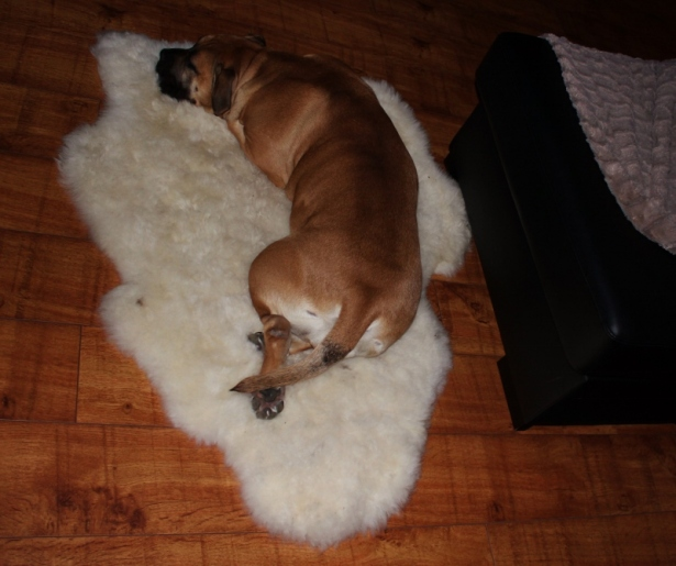 hund på saueskinn lammeskinn