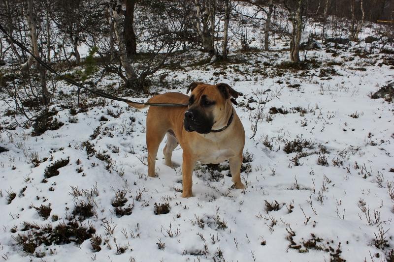 boerboel i snøen Norge