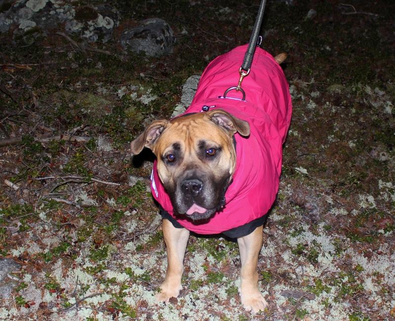 vinterdekken til stor hund boerboel