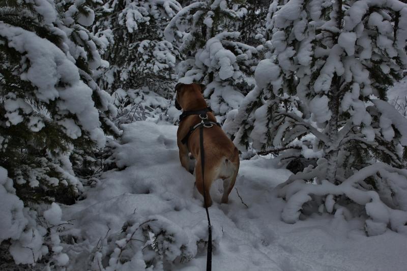 boerboel i vinter Norge