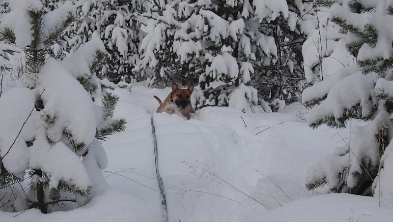 boerboel i snøen