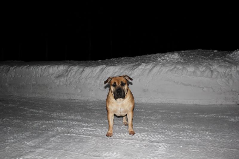 Norsk vinter boerboel