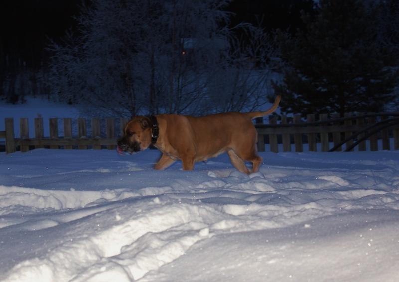 boerboel på snøen