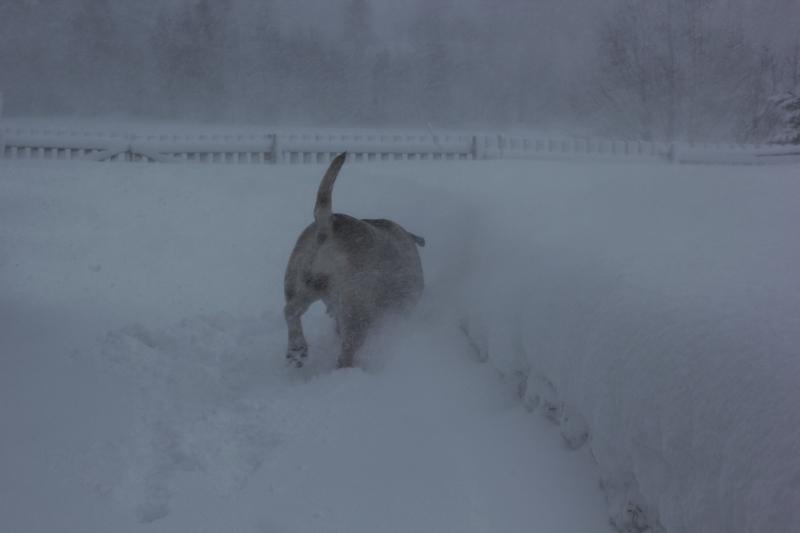 boerboel i snøstorm