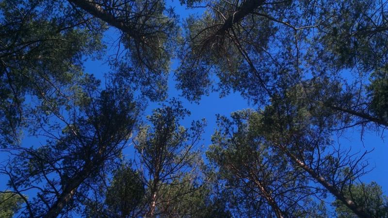 trær og himmel