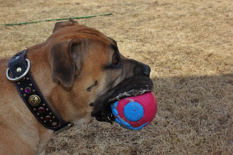 boerboel leker med ball
