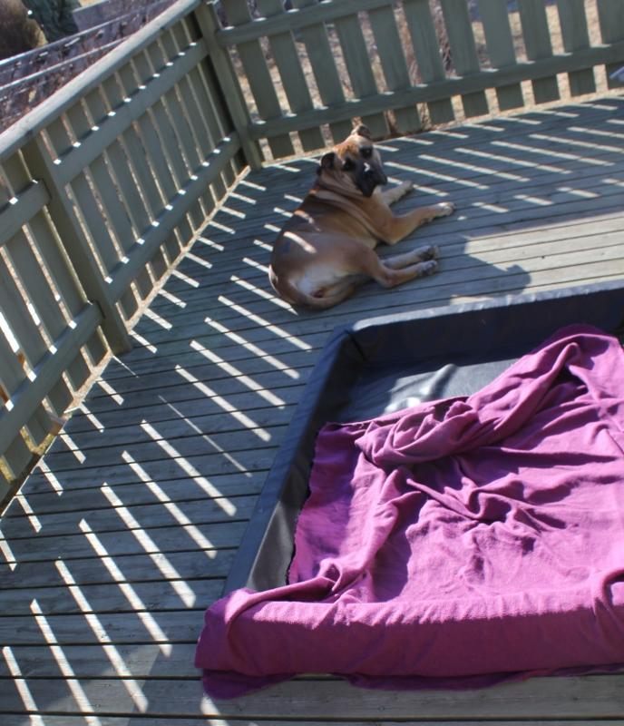 boerboel på veranda