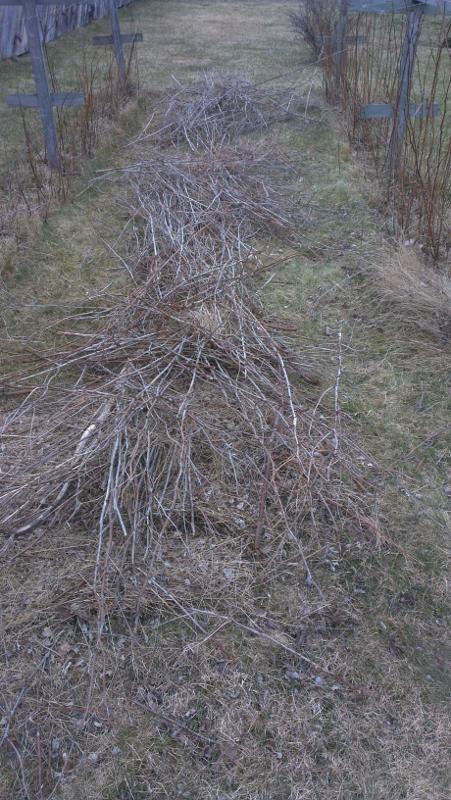 bringebærbusker
