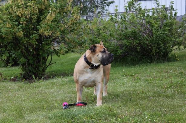 boerboel problemhund