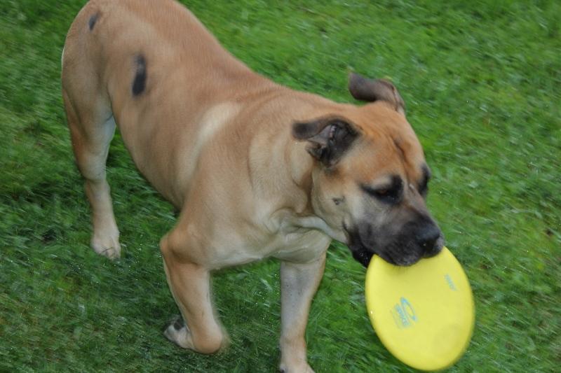 hund og frisbee