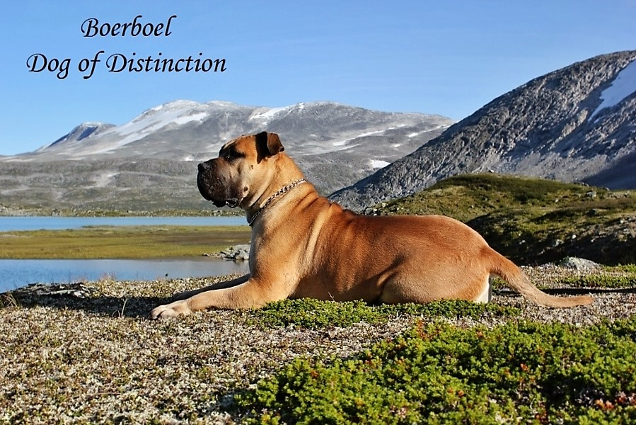 boerboel dog of - Kopi (900x601)