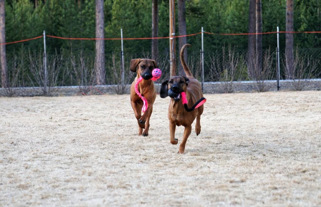 Hannoveransk viltsporhund Bayersk viltsporhund